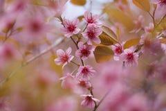 Flor de cereza rosado hermoso Foto de archivo libre de regalías