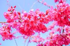 Flor de cereza rosado fotos de archivo
