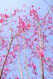 Flor de cereza rosado imagen de archivo libre de regalías