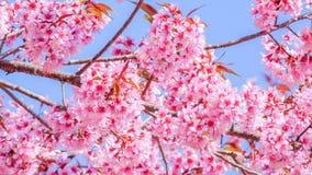 Flor de cereza rosado fotografía de archivo