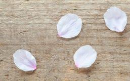 Flor de cereza Sakura Imagen de archivo