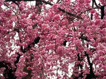 Flor de cereza Sakura foto de archivo libre de regalías