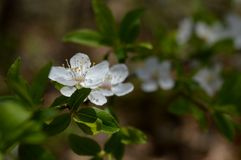 Flor de cereza salvaje fotografía de archivo
