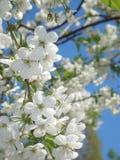 Flor de cereza y cielo azul Fotografía de archivo libre de regalías