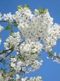 Flor de cereza y cielo azul Imagen de archivo libre de regalías