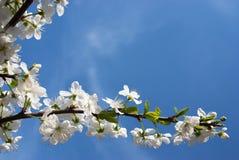 Flor de cereza y cielo azul Imagenes de archivo
