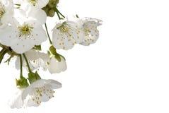 Flor de cerezo Fotos de archivo libres de regalías