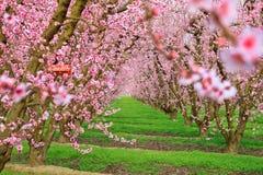 Flor de cerezo Imagenes de archivo