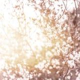 Flor de cerezo Fotos de archivo