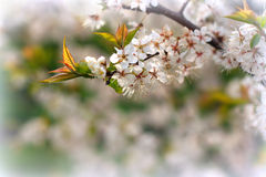 Flor de cerezo Imagen de archivo