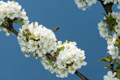 Flor de cerezo Imágenes de archivo libres de regalías