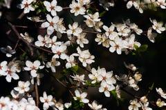 ¡Flor de cerezo! Imagenes de archivo