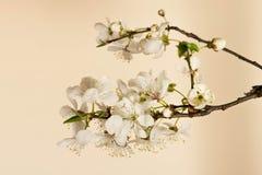 Flor de cerezo. Imagenes de archivo