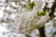 Flor de cerezo blanca durante la primavera Imagen de archivo