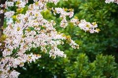 Flor de cerezo blanca, flor de Sakura Imágenes de archivo libres de regalías