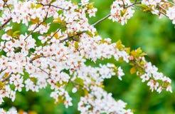 Flor de cerezo blanca, flor de Sakura Fotografía de archivo