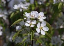 Flor de cerezo blanca fresca en el espray Fotos de archivo libres de regalías