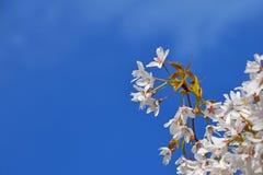 Flor de cerezo blanca sobre cierre del cielo azul para arriba imágenes de archivo libres de regalías