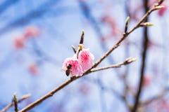 Flor de cerezo, Chiang Mai, Tailandia Imagen de archivo