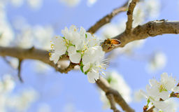Flor de cerezo de la polinización de las abejas Foto de archivo