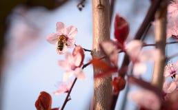 Flor de cerezo de la primavera Foto de archivo