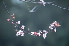 Flor de cerezo de la primavera en fondo azulverde Imagenes de archivo