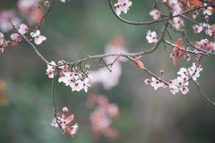 Flor de cerezo de la primavera en fondo verde Fotos de archivo