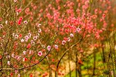 Flor de cerezo de Vietnam Imagen de archivo libre de regalías