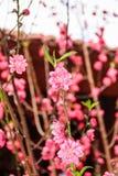 Flor de cerezo de Vietnam Imagenes de archivo
