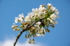 Flor de cerezo del blanco de la primavera Fotos de archivo libres de regalías