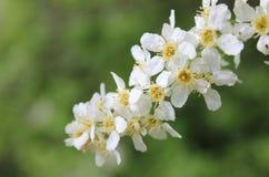 Flor de cerezo del pájaro Foto de archivo libre de regalías