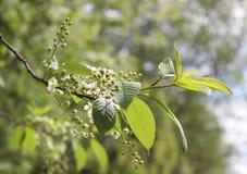 Flor de cerezo del pájaro Fotografía de archivo libre de regalías