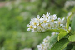 Flor de cerezo del pájaro Imagen de archivo libre de regalías