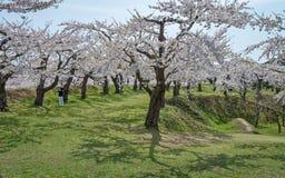 Flor de cerezo en el parque de Goryokaku Foto de archivo