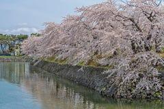 Flor de cerezo en el parque de Goryokaku Foto de archivo libre de regalías