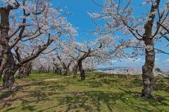 Flor de cerezo en el parque de Goryokaku Imagen de archivo
