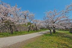 Flor de cerezo en el parque de Goryokaku Imagen de archivo libre de regalías