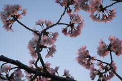 Flor de cerezo en el parque de Takarano en el amanecer en Tokio Imagen de archivo