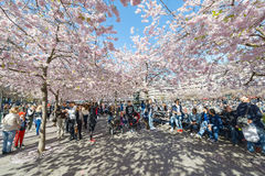 Flor de cerezo en el parque Kungstradgarden Fotos de archivo