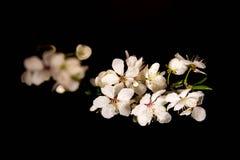 Flor de cerezo en fondo negro Imagen de archivo