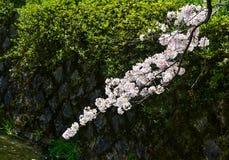 Flor de cerezo en Kyoto, Jap?n fotos de archivo