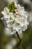 Flor de cerezo en la floración Imagen de archivo libre de regalías
