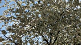 Flor de cerezo en la plena floraci?n r bajo almacen de video