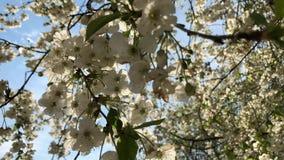 Flor de cerezo en la plena floraci?n r bajo metrajes