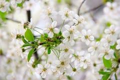 Flor de cerezo en la primavera, cerezos florecientes, flor Gard Fotografía de archivo