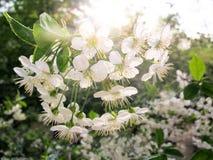 Flor de cerezo en la puesta del sol Imagen de archivo libre de regalías