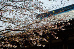 Flor de cerezo en marzo, rama de Sakura sobre el fondo del templo de Zojoji, Tokio, Japón el 31 de marzo de 2017 Imagen de archivo