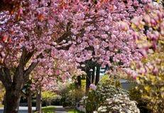 flor de cerezo en primavera Imagen de archivo