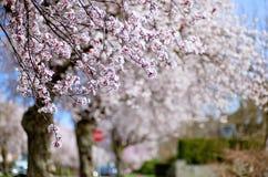 flor de cerezo en primavera Imagenes de archivo