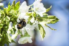 flor de cerezo en primavera Foto de archivo